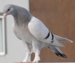 Pierre Pigeon