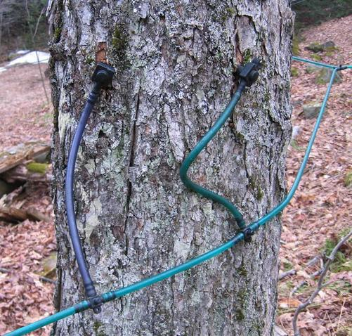 Maple sap flows through tapped hoses instead of buckets.